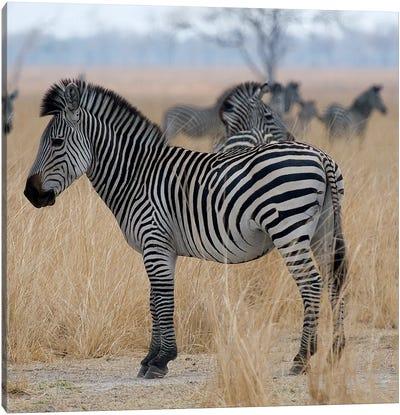 Zebras At A Glance Canvas Print #SCB80