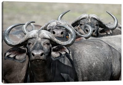 Cape Buffalos And Friend Canvas Art Print