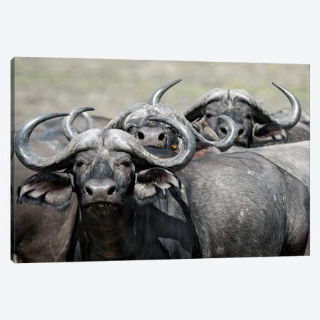 Cape Buffalos And Friend Canvas Print #SCB9} by Scott Bennion Canvas Print