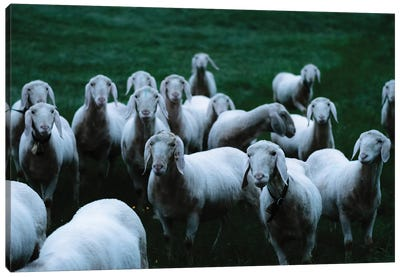 Flock Of Sheep On A Meadow Canvas Art Print