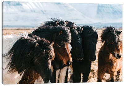 A Flock Of Horses In The Icelandic Planes Canvas Art Print