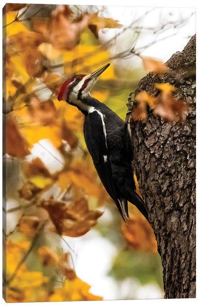 Pilieated Woodpecker Canvas Art Print