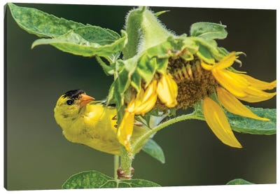 American Goldfinch In The Sunflower Patch Canvas Art Print