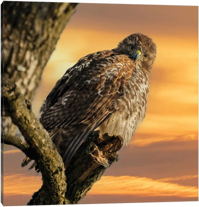 Red Tailed Owl In The Sunset Canvas Art Print