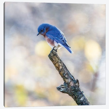 Eastern Bluebird In Thought Canvas Print #SDR109} by Sandra Rust Canvas Art Print