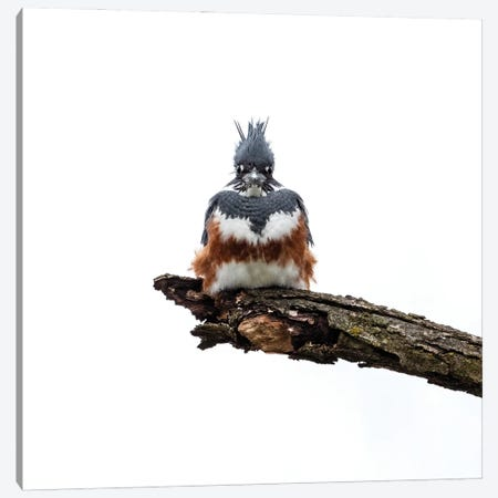 Queenfisher (Female Belted Kingfisher) In Full Armor Canvas Print #SDR110} by Sandra Rust Canvas Art