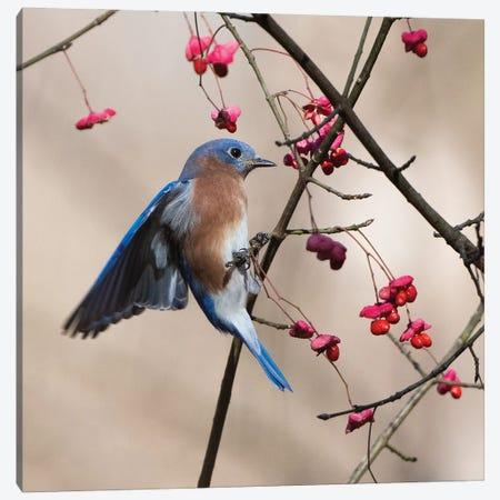 Bluebird On The Wahoo Tree Grabbing A Berry Canvas Print #SDR13} by Sandra Rust Canvas Art Print