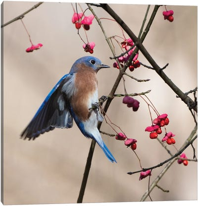 Bluebird On The Wahoo Tree Grabbing A Berry Canvas Art Print