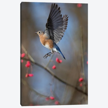Bluebird On The Wahoo Tree Inflight Canvas Print #SDR23} by Sandra Rust Canvas Artwork