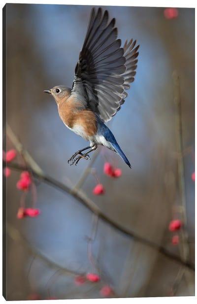 Bluebird On The Wahoo Tree Inflight Canvas Art Print