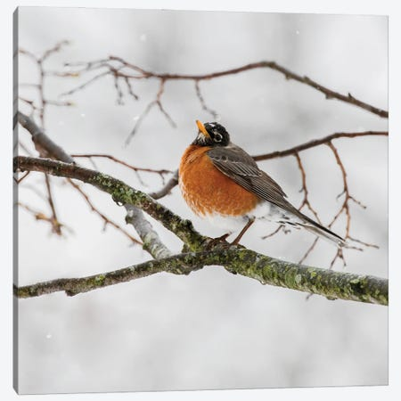 American Robin Waiting On Spring Canvas Print #SDR2} by Sandra Rust Canvas Art Print