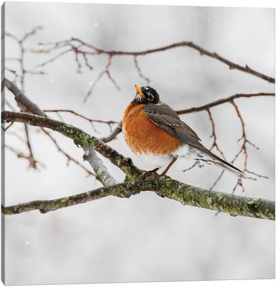 American Robin Waiting On Spring Canvas Art Print