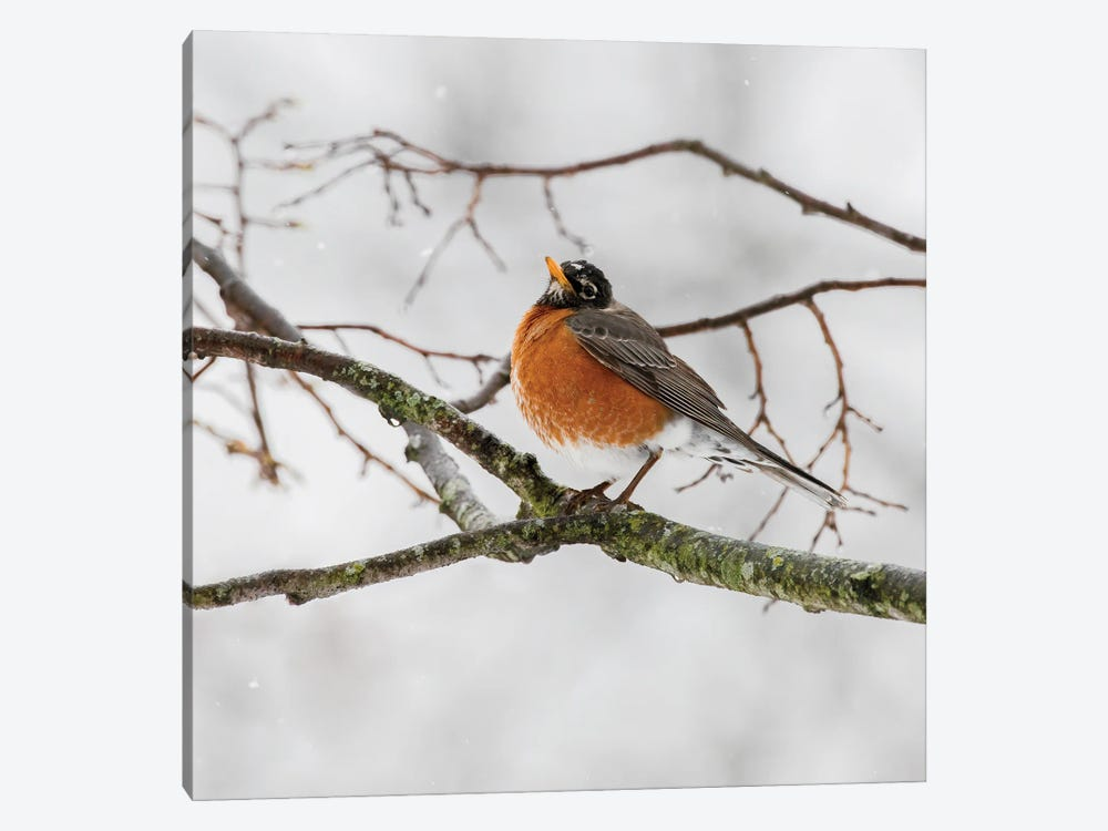 American Robin Waiting On Spring by Sandra Rust 1-piece Canvas Artwork