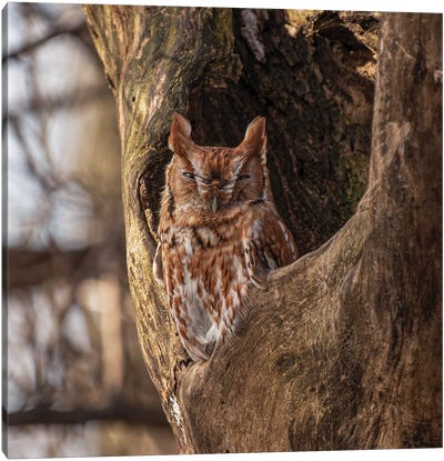 Red Phase Eastern Screech Owl In Tree Hallow Canvas Art Print