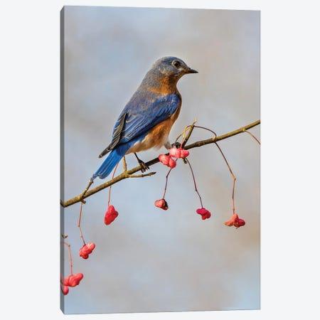 Bluebird On The Wahoo Tree I Canvas Print #SDR45} by Sandra Rust Art Print
