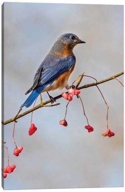 Bluebird On The Wahoo Tree I Canvas Art Print
