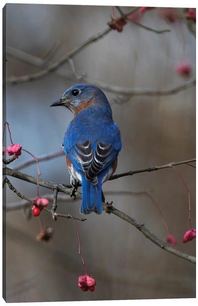 Bluebird On The Wahoo Tree II Canvas Art Print