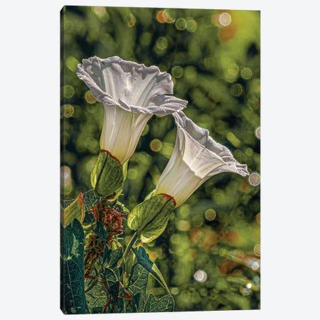 2 White Morning Glories Canvas Print #SDR59} by Sandra Rust Canvas Art Print