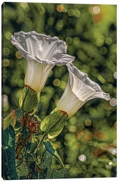 2 White Morning Glories Canvas Art Print
