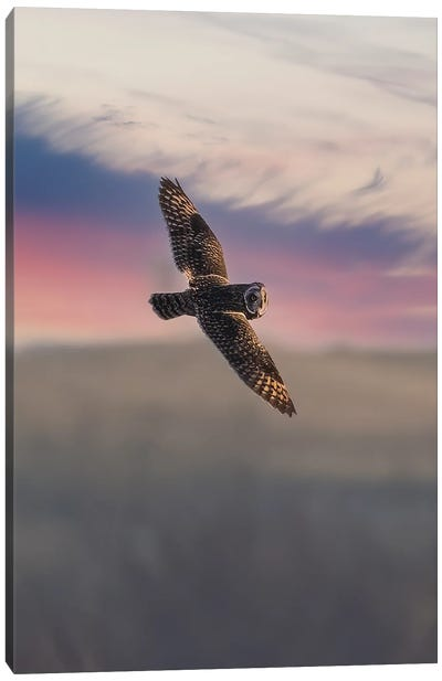 Short Eared Owl In The Sunset III Canvas Art Print