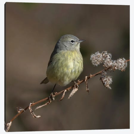Orange Crowned Warbler Canvas Print #SDR89} by Sandra Rust Canvas Wall Art