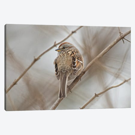 American Tree Sparrow Canvas Print #SDR90} by Sandra Rust Art Print