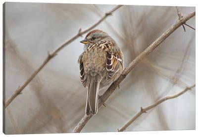 American Tree Sparrow Canvas Art Print