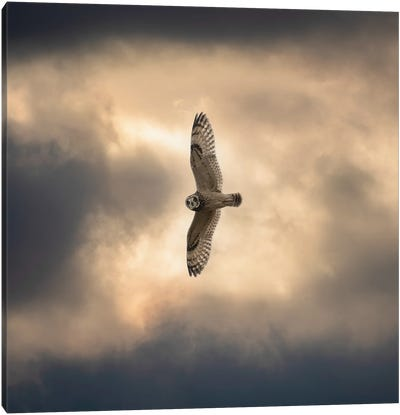 Short Eared Owl Flying High Canvas Art Print