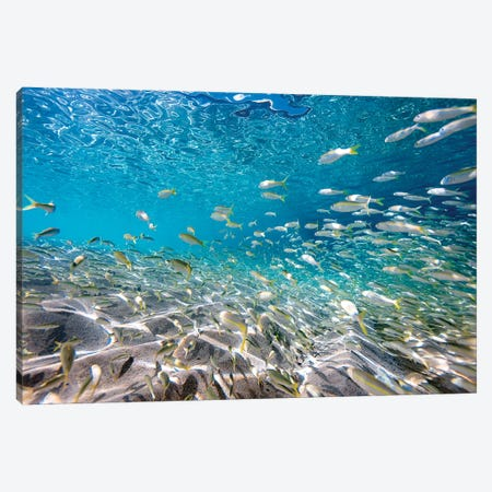 Waimea Fish School Canvas Print #SDV252} by Sean Davey Canvas Artwork