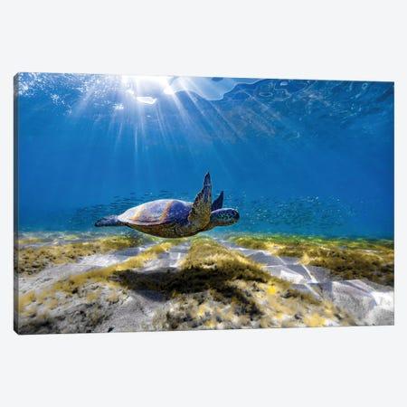 Waimea Turtle Glide Canvas Print #SDV256} by Sean Davey Canvas Art Print