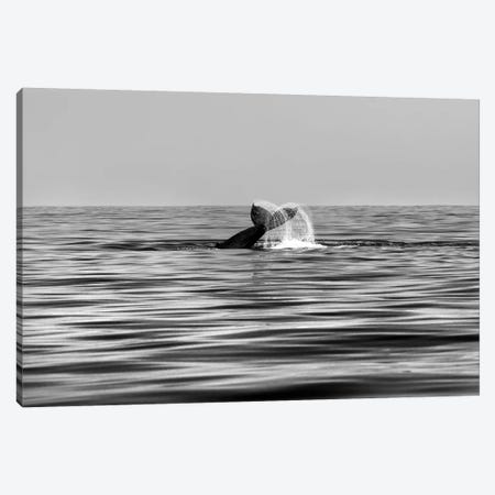 Whale-Of-A-Tail In Black And White Canvas Print #SDV262} by Sean Davey Canvas Art Print