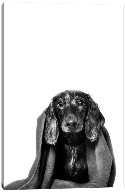 Wet Dog, Anthony With Towel, Black & White Canvas Art Print