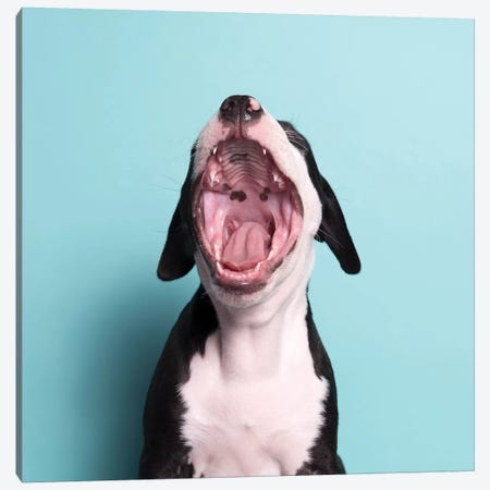 Black Beard The Rescue Puppy, Yawning Canvas Print #SGM15} by Sophie Gamand Art Print