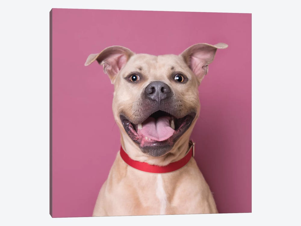 Bullet The Rescue Dog, Laughing by Sophie Gamand 1-piece Canvas Print