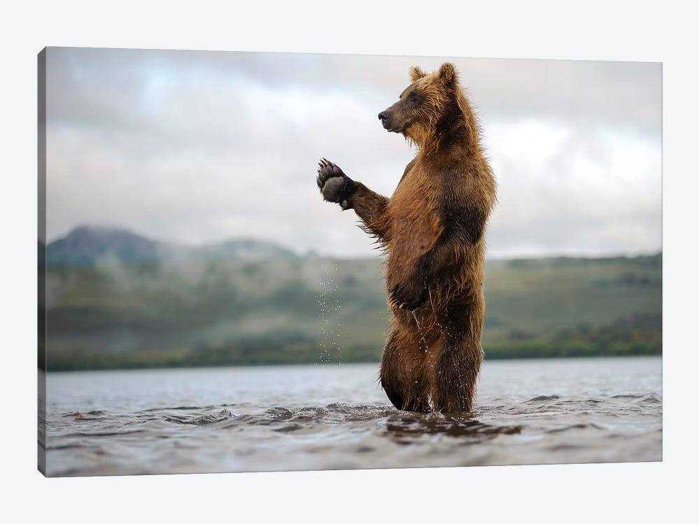 Brown Bear Standing In River, Kamchatka, Russia by Sergey Gorshkov 1-piece Canvas Artwork