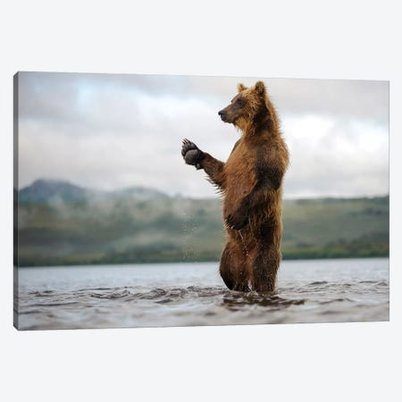 Brown Bear Standing In River, Kamchatka, Russia Canvas Print #SGY1} by Sergey Gorshkov Canvas Art Print
