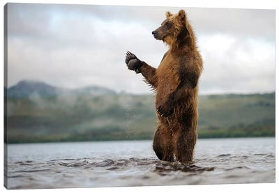Brown Bear Standing In River, Kamchatka, Russia Canvas Art Print