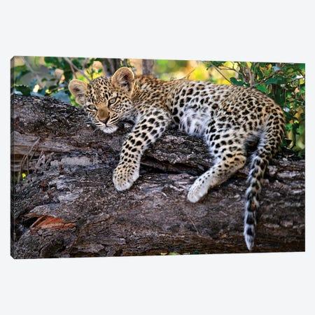 Leopard Cub Resting In Tree, Botswana Canvas Print #SGY3} by Sergey Gorshkov Art Print