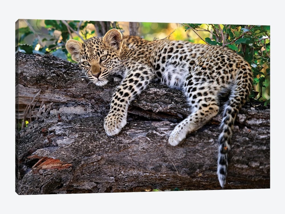 Leopard Cub Resting In Tree, Botswana by Sergey Gorshkov 1-piece Canvas Art