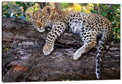 Leopard Cub Resting In Tree, Botswana Canvas Art Print