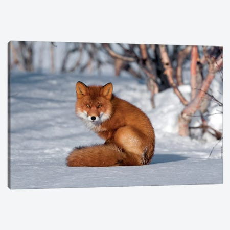 Red Fox Sitting On Snow, Kamchatka, Russia Canvas Print #SGY4} by Sergey Gorshkov Canvas Artwork
