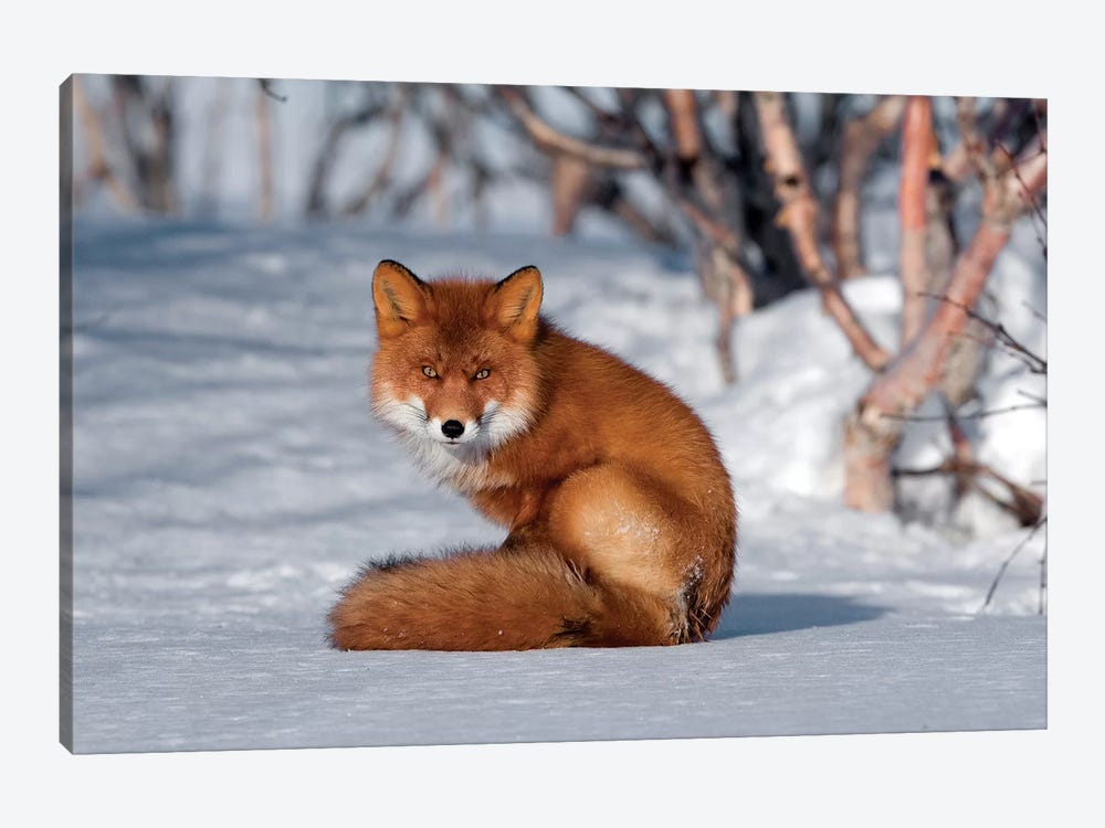 Red Fox Sitting On Snow, Kamchatka, Russia 1-piece Art Print