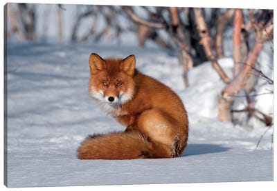 Red Fox Sitting On Snow, Kamchatka, Russia Canvas Art Print
