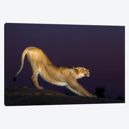 African Lion Female Stretching At Night, Londolozi, Sabi-Sands Game Reserve, South Africa Canvas Print #SGY5} by Sergey Gorshkov Canvas Art