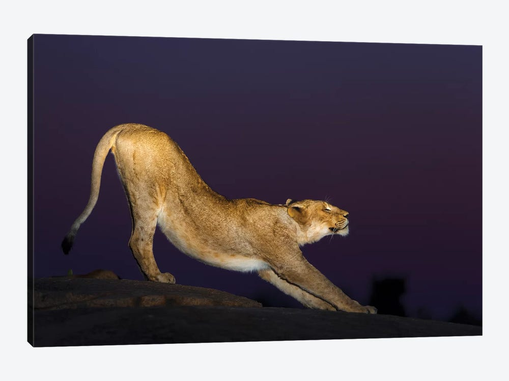 African Lion Female Stretching At Night, Londolozi, Sabi-Sands Game Reserve, South Africa by Sergey Gorshkov 1-piece Canvas Wall Art