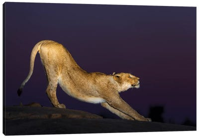 African Lion Female Stretching At Night, Londolozi, Sabi-Sands Game Reserve, South Africa Canvas Art Print