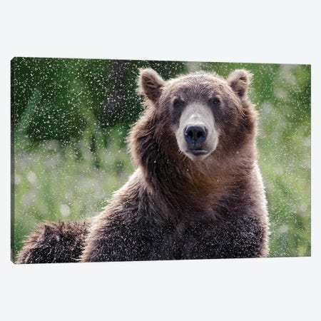 Brown Bear Shaking Off Water, Kamchatka, Russia Canvas Print #SGY6} by Sergey Gorshkov Canvas Artwork