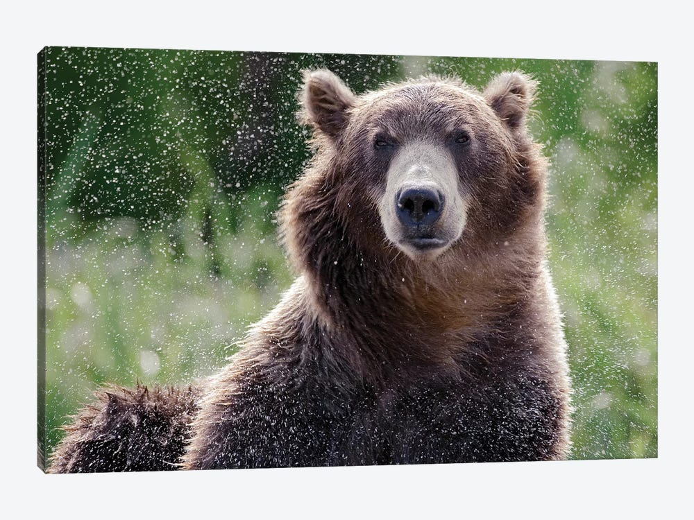 Brown Bear Shaking Off Water, Kamchatka, Russia by Sergey Gorshkov 1-piece Canvas Art Print
