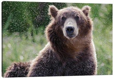 Brown Bear Shaking Off Water, Kamchatka, Russia Canvas Art Print