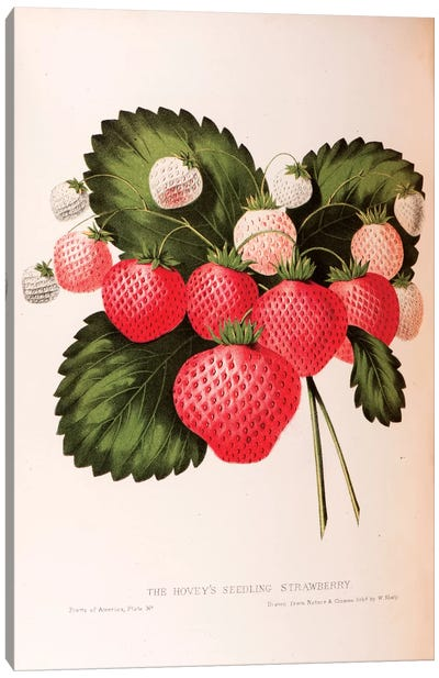 Fruits Of America Series: Hovey's Seedling Strawberry Canvas Print #SHA1